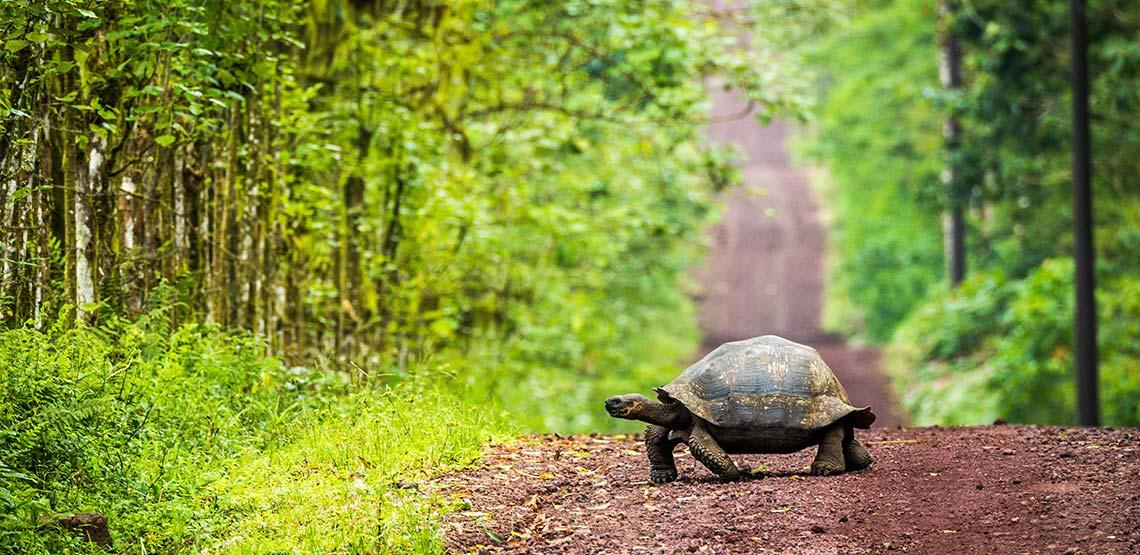 Giant tortoise walking across dirt path toward the woods.