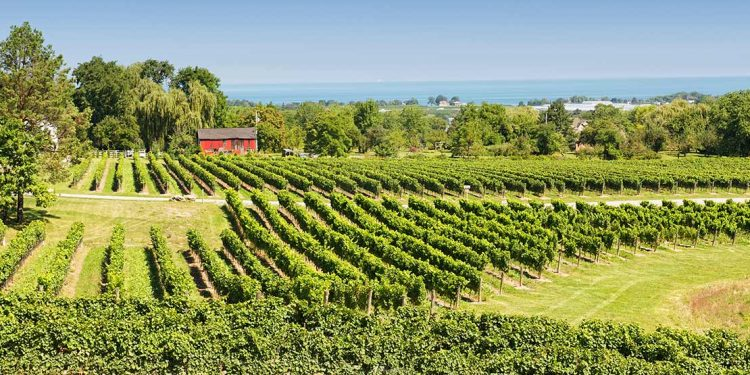 Vineyard in Niagara region