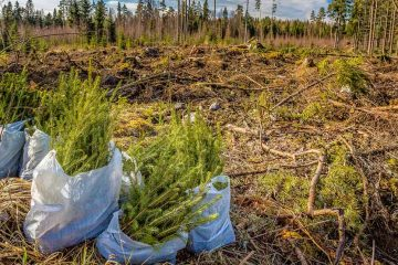 young evergreen trees ready to be planted in a field that has been clear cut