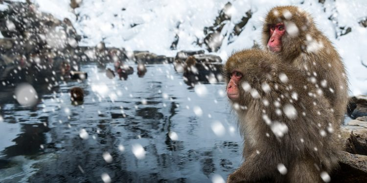 Two snow monkeys sit by a river as snow falls around them