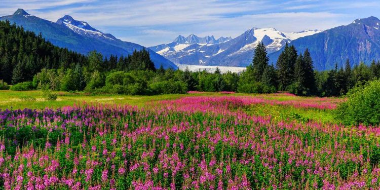 A meadow of flowers continues down to the mountains of Alaska