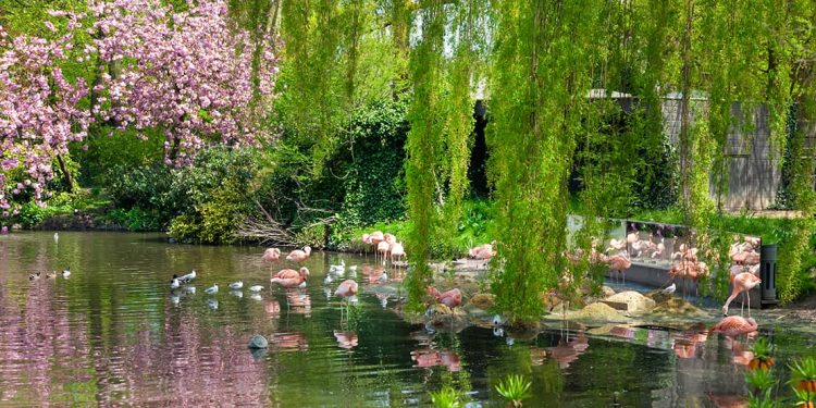 Pink flamingos and white birds in shallow lagoon with willow tree branches draping down and almost touching the water.
