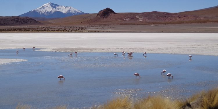 A group of flamingos are drinking water from a pond