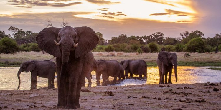 An elephant approaches the camera while overs bathe in a watering hole.