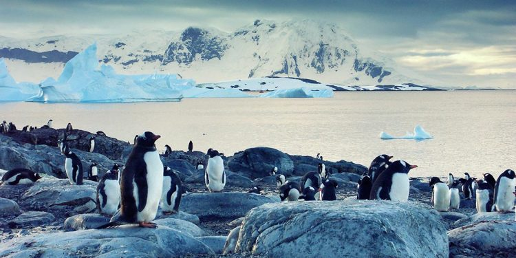 Gentoo penguins standing on the coast of the Antarctic Ocean with icebergs floating out at sea.