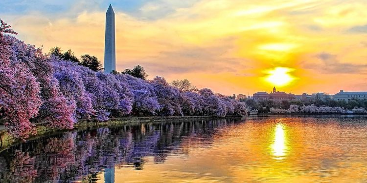 The Washington Monument sticks up out of purple trees on the edge of a lake.