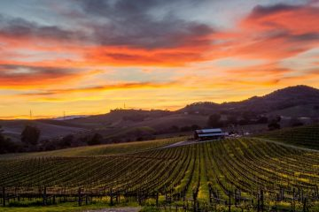 Spectrum of colors over Napa Valley vines in winter. Rolling hills of yellow mustard flowers. Path leads to a winery.