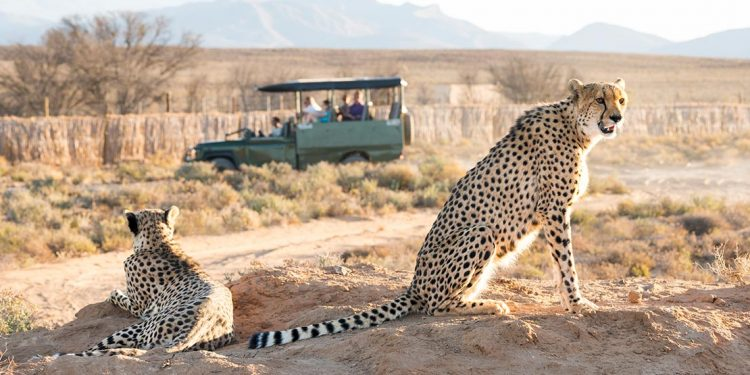 Two cheetahs sitting on dirt with green safari jeep in the background.