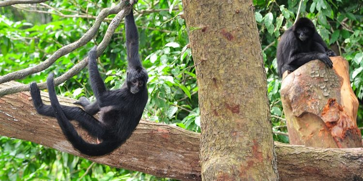 Two black monkeys hanging out in a tree.