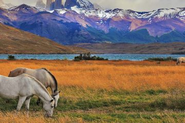 horses graze in the torres del paine national park in chile