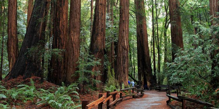 Path through redwood forest with tall and thick trees.