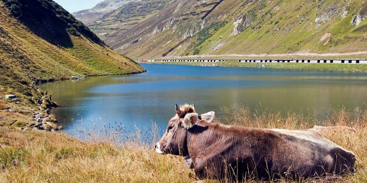 Yak with lake in background and railway across on other side.