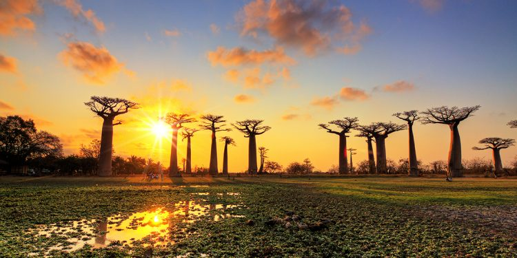 Trees in Madagascar