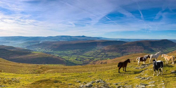 Mountain ponies in Brecon Beacon National Park.