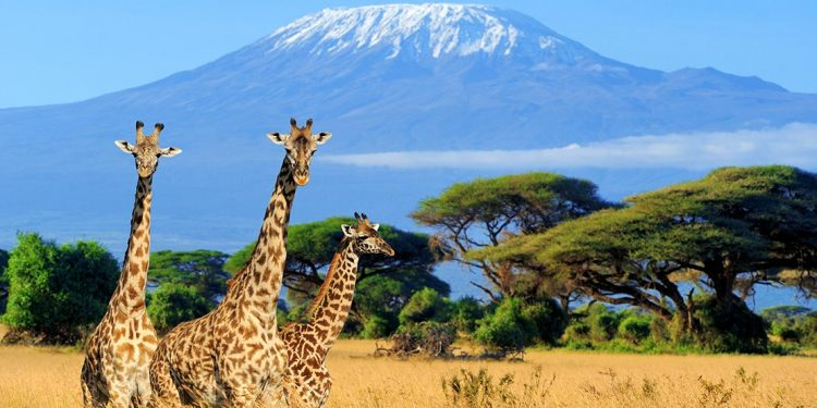 Giraffes on the savanna