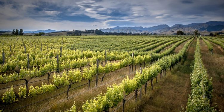 Rows of grapevines at a vinyard