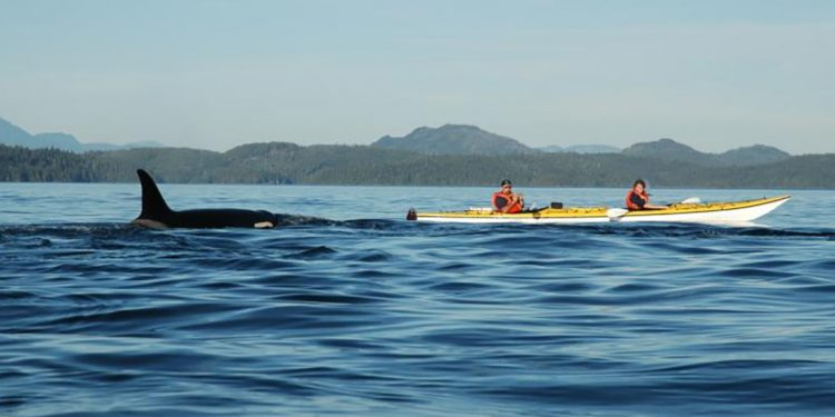 Wild Heart, Kayaking with the orca whales