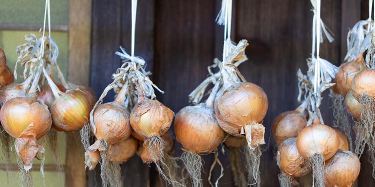 Onions hanging in bunches in front of door frame.