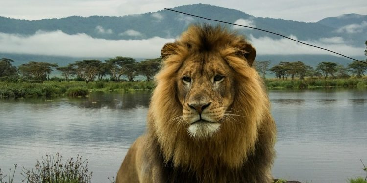 Lion at Ngorongoro Crater in the Serengeti, Africa