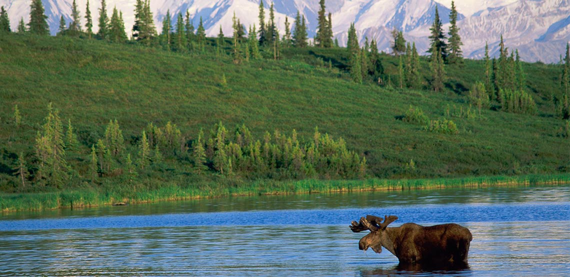 Moose standing in water with mountains in background