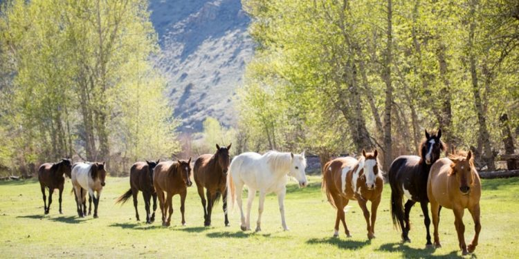 Horses at Rocking Z Guest Ranch