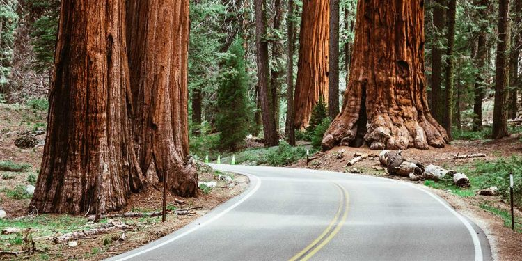 Road winding through Giant Redwoods.