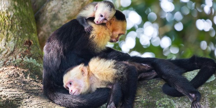 Three white-faced capuchin on a tree branch