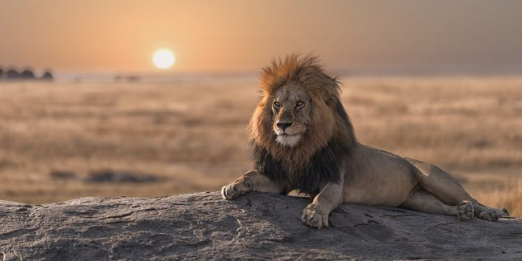 A tawny male lion splays across a gray rock as the sun sinks behind him.