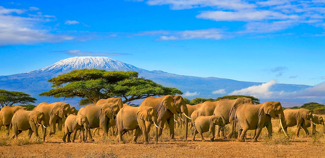 A herd of dust-covered elephants stroll by snow-capped Mount Kilimanjaro, the cloud-flecked sky above them a brilliant blue.