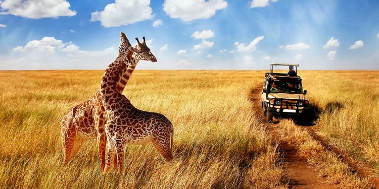 A pair of wild giraffes twine necks amidst the yellow grasses of the savannah in Tanzania's Serengeti National Park.