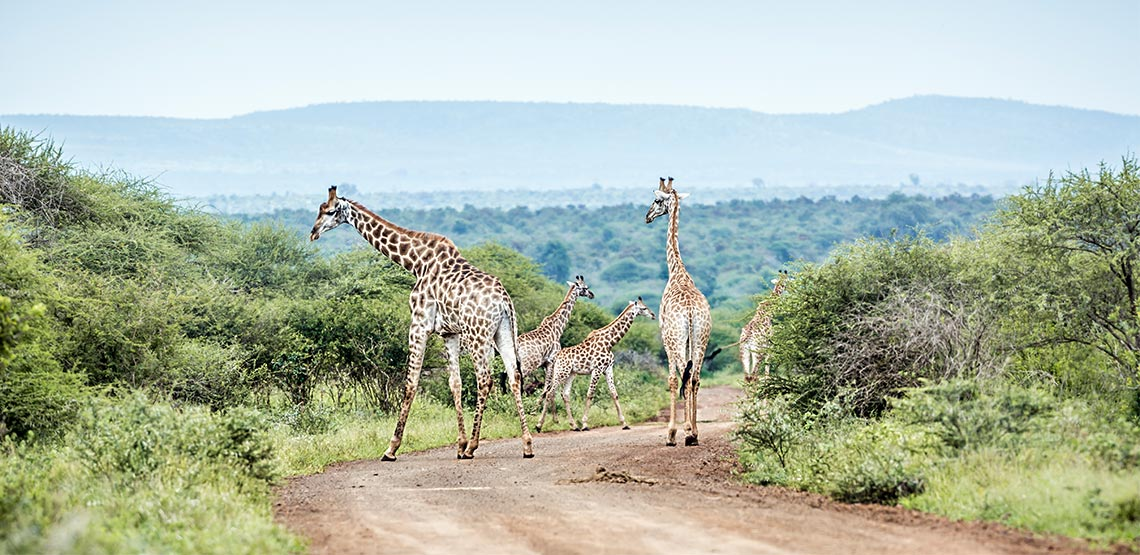 Giraffes standing on the road