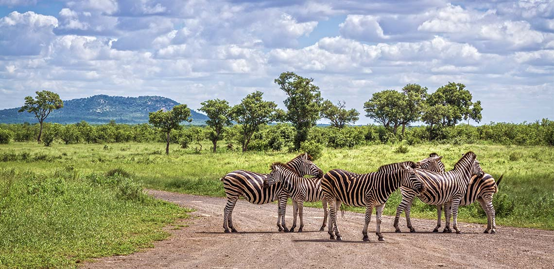 Zebras on the road