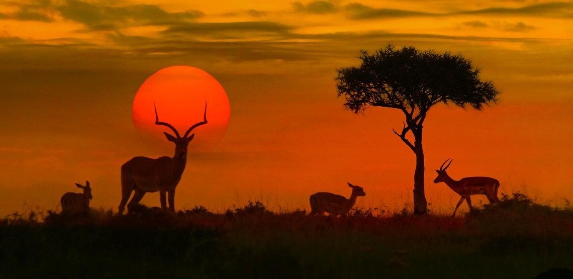 A blood-red sunset silhouettes an impala as it stares at the camera.