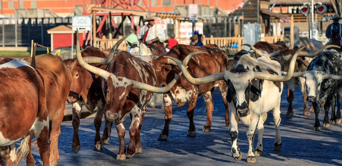 Steers being walked down road by cowboys on horses