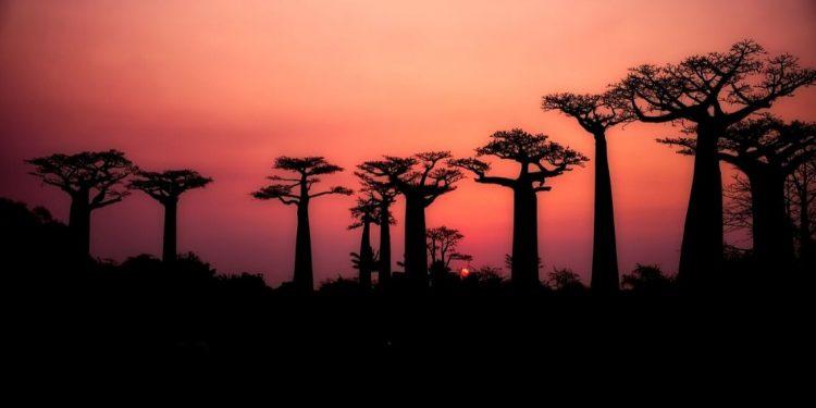 Boabab trees.