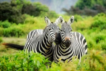 Zebras in the grasses of Kenya.