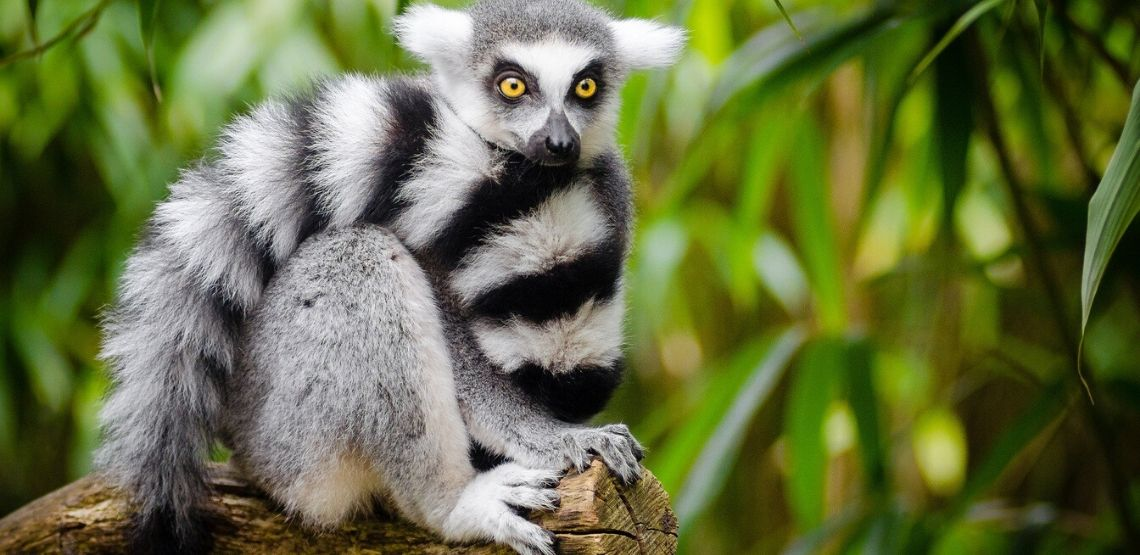 A lemur in a tree.