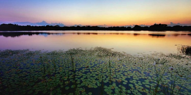 A lake with lily pads on it at sunset.